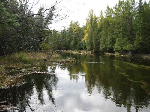 Cedar in summer